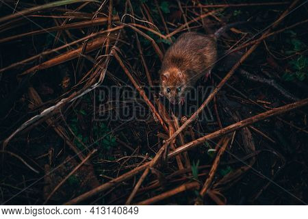 Common Brown Rat In Woodland. Rat Living By A Lake Looking For Wood In The Woodland Marsh.