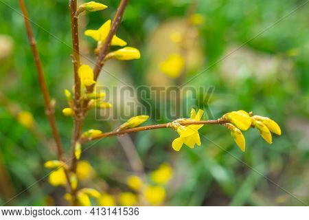 The Plant Blooms In Spring. An Ornamental Forsythia Bush Has Buds And Inflorescences With Bright Yel