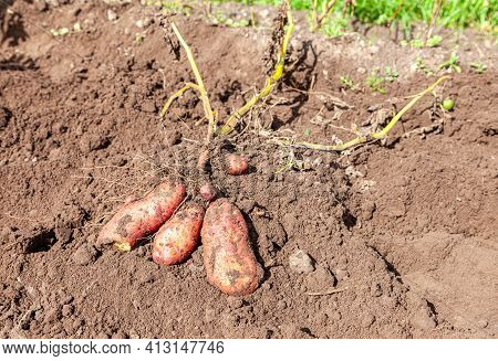 Freshly Dug Organic Potatoes Of New Harvest At The Potatoes Plantation. Potato Harvest At The Vegeta