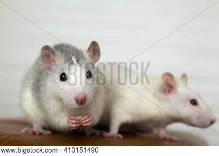 Closeup Of Two Funny White Domestic Rats With Long Whiskers.