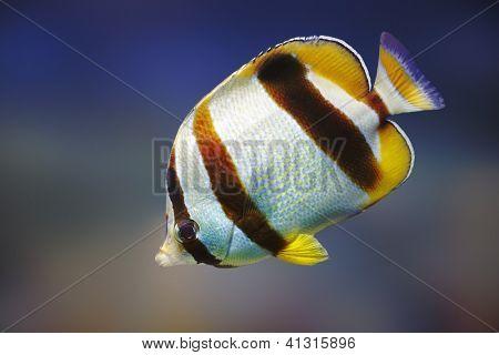 South African Butterflyfish (Chaetodon marleyi) - Marine species