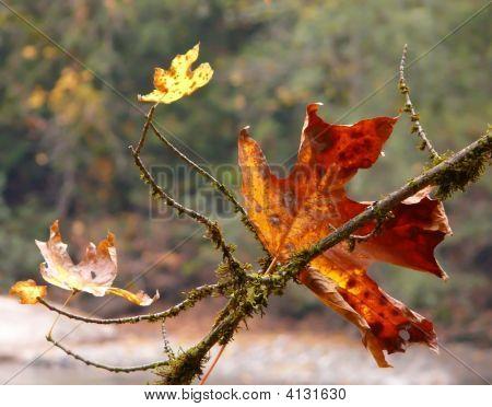 Autumn_Redleaf