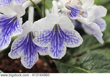 Closeup Of White And Purple Streptocarpus Flowers