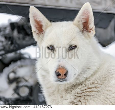 Portrait Of  Siberian Hunting Dog Or Laika On The Background Of  Snowmobile. The Light Fawn West Sib