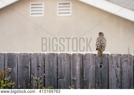 A Coopers Hawk Sits On A Wooden Fence After Feeding. Small Amounts Of Blood Remain On The Talons.