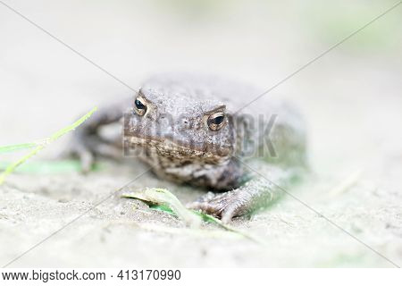 Soft Closeup Of A Female Of The European Common Toad, Bufo Bufo In The Garden