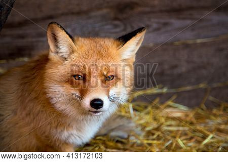 Portrait Of A Red Fox At A Wildlife Shelter
