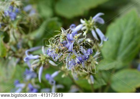 Tube Clematis - Latin Name - Clematis Heracleifolia