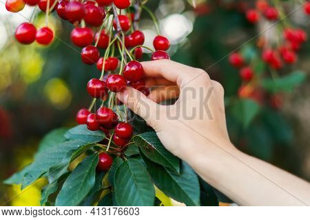 Hand Picking Fresh Delicious Cherries, Close-up. A Woman's Hand Plucks Juicy Cherry Berries From A T