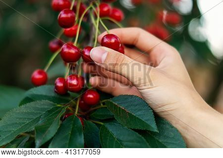 Picking Ripe, Sweet Cherries From A Cherry Tree By Hand Close-up. A Hand Plucking Delicious Cherry B