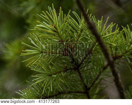Pine Tree And Pine Cone. Pinecone Branch Closeup