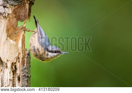 Little Eurasian Nuthatch Sitting On Tree With Copy Space