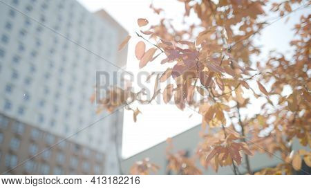 Red Tree Branches On Background Of Residential Building. Action. Young Tree With Red Leaves Near Res
