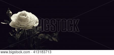 Sympathy Card  White Ranunculus Flower On Black Background With Copy Space