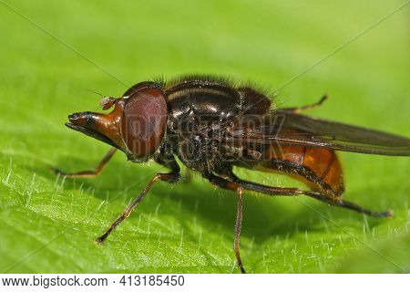 Closeup Of The Orange  Common Snout-hoverfly, Rhingia Campestris On A Green Leaf