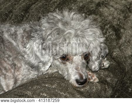 Cute Silver Poodle Dog Laying On A Gray Bed. Sad Poodle Face