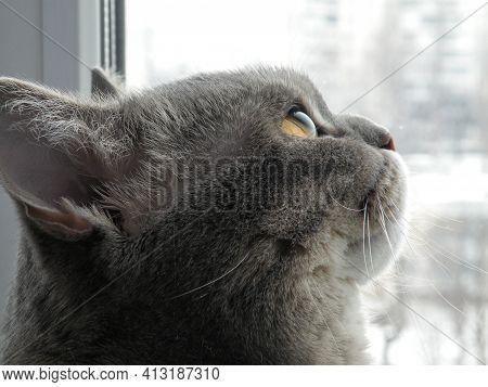 Big Scottish Cat Look Up. Curious Tabby Scheming Cat Have Crafty Plan. Scottish Short-hair Devious C