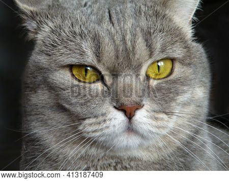 Big Scottish Cat Look Sneaky Sly. Curious Tabby Scheming Cat Have Crafty Plan. Gray Marbled Color Ca