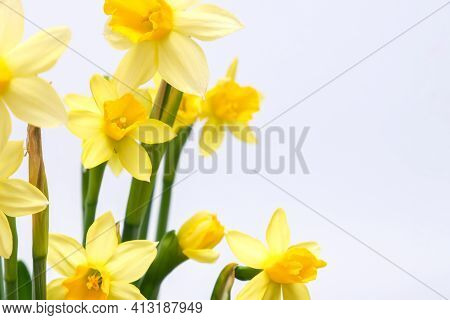 First Spring Yellow Blooming Flowers Narcissus Against White Background Close Up With Copy Space