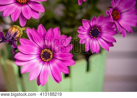 Close Up Of A Cape Marguerite Flower (dimorphotheca Ecklonis) With Blurred Background