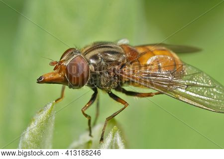 Detailed Frontal Closeup Of The Orange  Common Snout-hoverfly, Rhingia Campestris