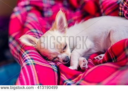 A Cute Little White Chihuahua Puppy With Folded Paws And Sleeping On A Red Blanket. Pet