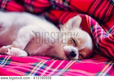 Little White Chihuahua Puppy With Folded Paws And Sleeping On A Red Blanket. Dream. Chihuahua