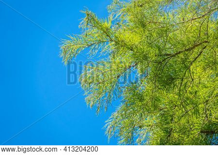 Leaves And Cones Of A Cypress Evergreen On Blue Sky Background. Dense Cypress Branches With Needles