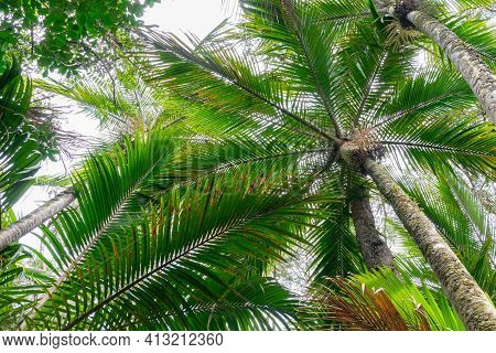 Palm Trees Converge Overhead Form Green Frond Pattern