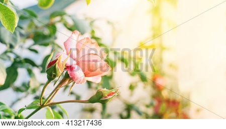 One Large Close-up Of A Pink Rose In The Sun At Sunset. Pink And White Rose Bushes Blooming In The G