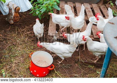 Unrecognizable Woman White Rubber Gloves, Collecting Eggs Feeding Grain From Red Pot To Free-range C