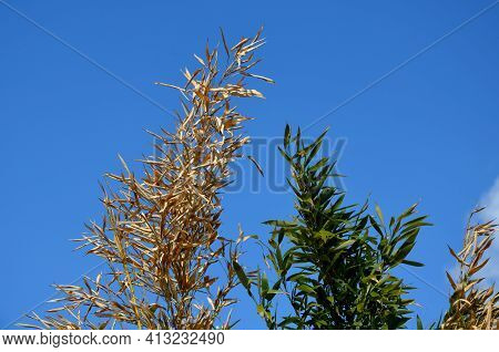 The Bamboo Flowerbed Outdoors After A Cold And Frosty Winter Is Partially Damaged. You Can Clearly S