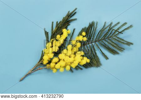 Sprig Of Mimosa On A Blue Background. Branch Of Acacia Dealbata. Spring Holiday Background With A Sp