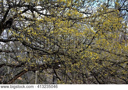 Cornus Mas In Bloom Is An Early Flowering Shrub, Old Dogwood Blooms Or Sproutes Yellow Flowers And H