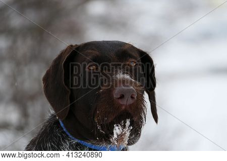 Portrait Of A German Dog. Hunting, German Wire Hair. High Quality Photo