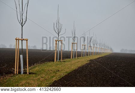 Planting Of A New Windbreak In Field, Bio Corridor, Alley Of Ash Trees. Fixed To The Poles And Fence