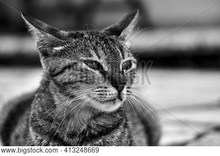 Portrait Of Young Gray Cat In Greece, Monochrome
