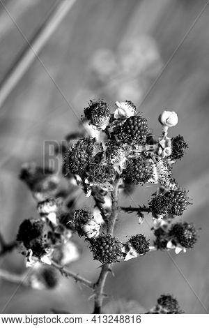 Details Of Fruit Blackberries On A Bush In Greece,monochrome