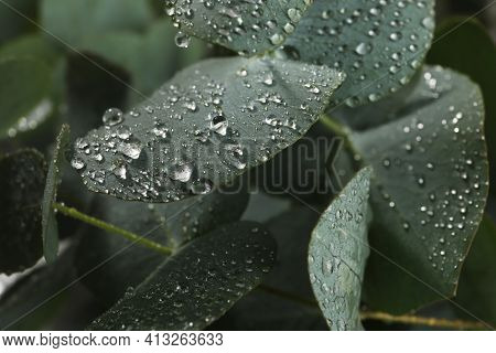 Fresh Eucalyptus Leaves With Dew Drops, Closeup