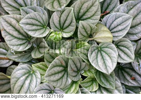 Green Leaves Of Emerald-ripple Peperomia 'silver Ripple', A Tropical Plant