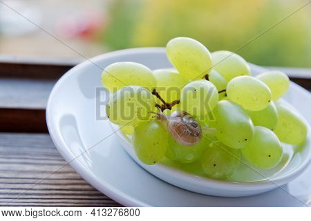 Little Snail, Cute, Crawls With Extended Tentacles On Green Grape Bunch In Saucer, On The Background