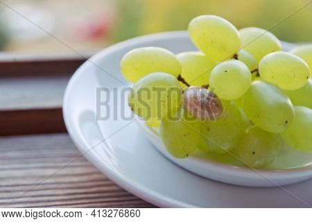 Cute Little Snail With Fragile Shell In Closeup, Crawls On Green Grape Bunch In Saucer, On Backgroun