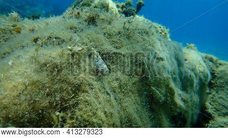 Seashell Of Sea Snail Common Cerith (cerithium Vulgatum) With Striped Hermit Crab (pagurus Anachoret