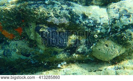 Oyster Sponge Or Orange-red Encrusting Sponge (crambe Crambe), Stinker Sponge (ircinia Variabilis) A
