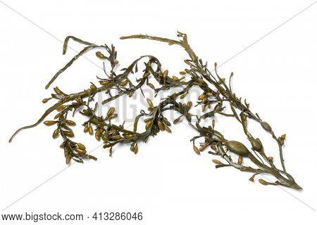 Fresh Bladder wrack seaweed isolated on white background