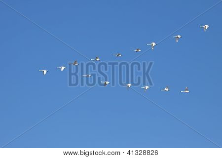 Tundra Swans Flying In Formation