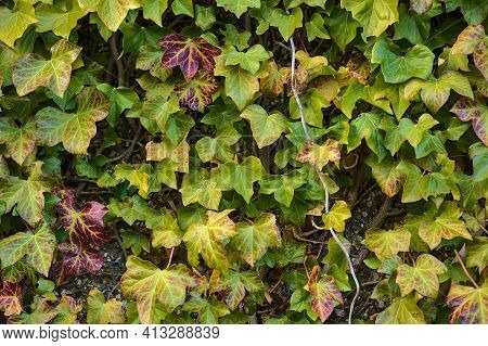 Beautiful Spring Colorful Leaves Of Ivy Hedera Helix Plant Clinging And Climbing On The Wall, Dublin