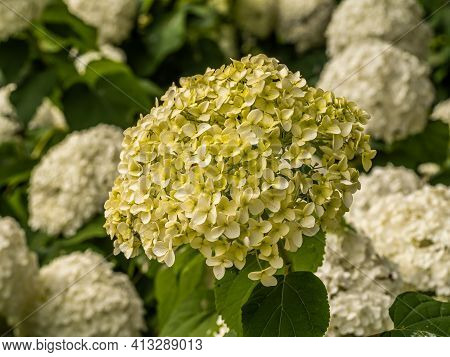 Wonderful Blooming White Hydrangea Arborescens, Commonly Known As Smooth Hydrangea, Wild Hydrangea I