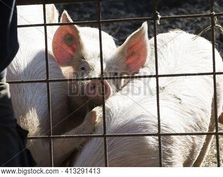 Pig Breeding In Livestock Farming