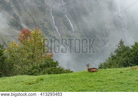 A Chamois Above The Valley Of Lauterbrunnen, Switzerland, On A Rainy Day.